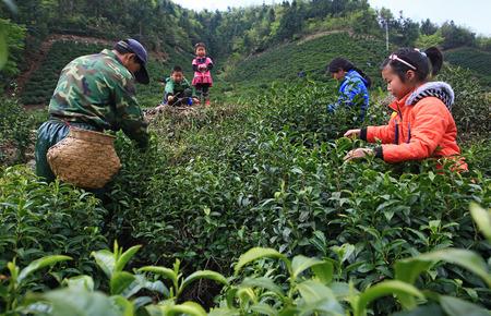 Farmers plucking tea leaves