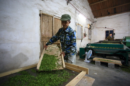 Man laying the tea leaves on the tray for drying Editorial
