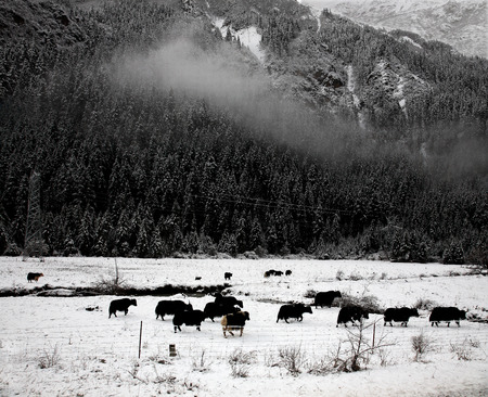 polar climate: Buffalo in snow farm Stock Photo