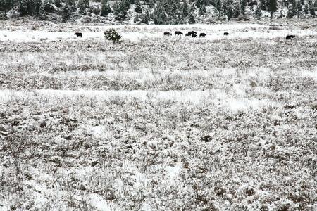 polar climate: Buffalo in snow field