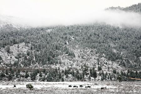 polar climate: Buffalo in snow