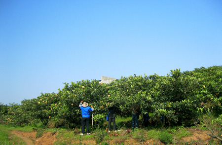 obscured face: Workers managing loquat trees in farm Stock Photo