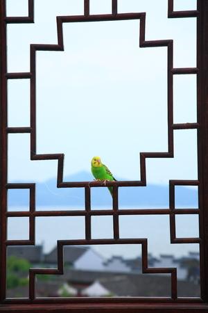 periquito: Perico en un marco de la ventana