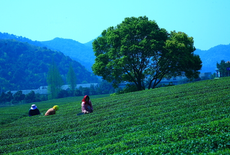 only three people: Tea plantation on mount Fuquan Editorial