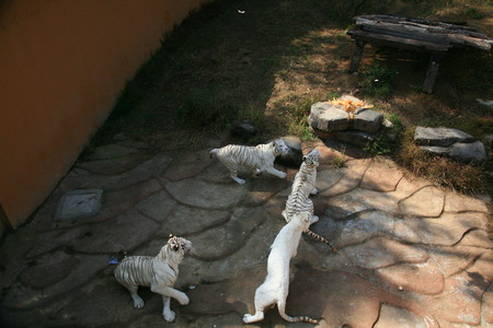 white tigers: Feeding time for white tigers in zoo