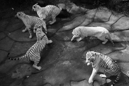 white tigers: White tigers in zoo