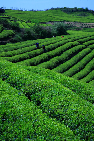 obscured face: Tea plantation with tea pickers Stock Photo