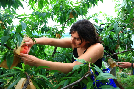 plucking: Young woman plucking a peach