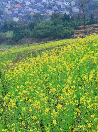 canola: Canola flower field