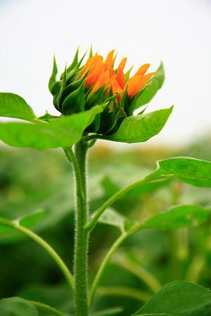 budding: A budding sunflower