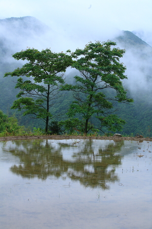 terraced field: Two trees at the side of a terraced field