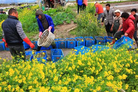 razor: Farmers with harvested razor clams Editorial
