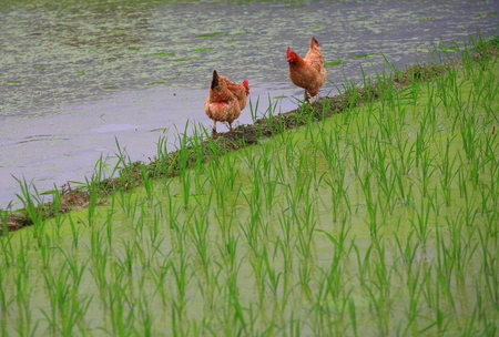 padi: Chickens by the lake Stock Photo