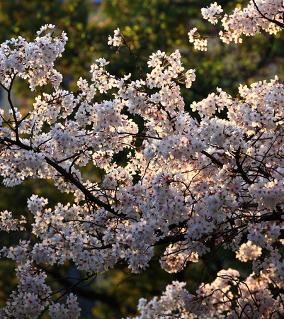 full frames: Cherry blossoms in a park Stock Photo