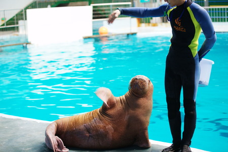 lower section: Instructor training walrus at ocean world Editorial