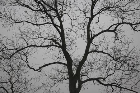 grey  sky: Bare tree against the grey sky