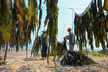 algas marinas: Hombres recolección de algas de las redes que cuelgan