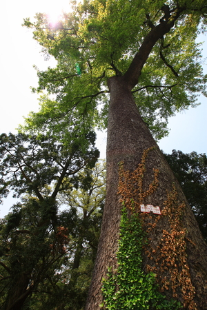 mao: Tall and old tree in the Mao Huo Village Editorial