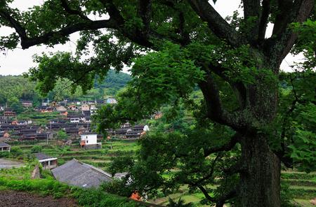 huge tree: Huge tree in a village