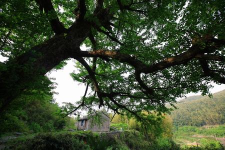 slanting: A slanting tree in the village