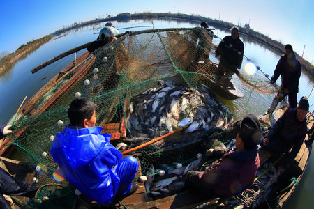 caught: Fishermen collecting the fish caught Editorial