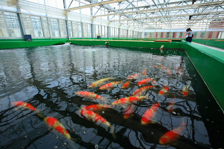 fish farm: Fishes in the pond at a fish farm
