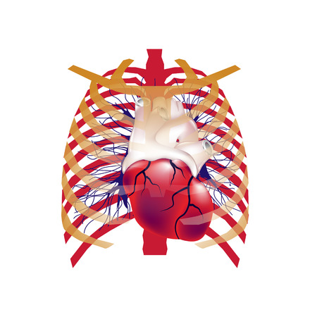 Illustration of human heart in chest. 3d logo. Can be used as health care emblem, medical design, emergency logo...