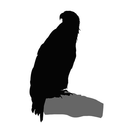 goshawk: Silhouette of eagle. Stock Photo