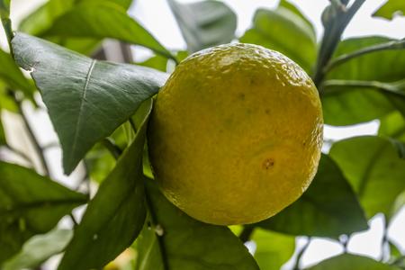 close up mandarin in nature Stock Photo