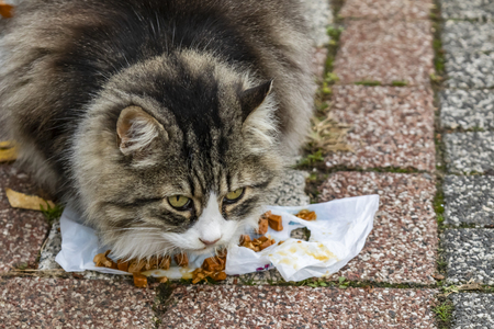 The young cat eating cats food.