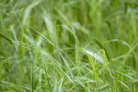 close up wall barley field