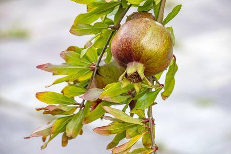 pomegranates on tree banches Stok Fotoğraf