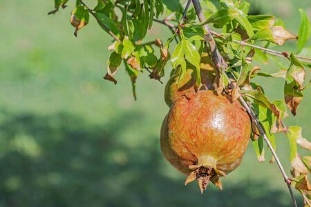 pomegranates on tree banches Stock Photo