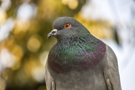 gray pigeon in nature