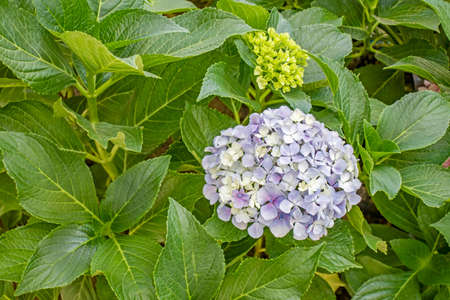 close up hydrangea flower and green leaves