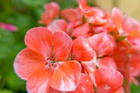 close up geranium flower in nature