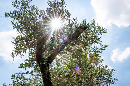 blue sky and olive tree in nature