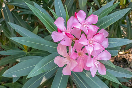 oleander flower and green leaves