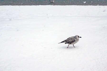 seagull on snow in winter season.
