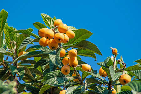 ripe loquat fruits on the tree with green leaves