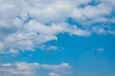 migrations of cormorants in cloudy weather in summer season.