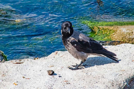crow on the seashore and on the rocks