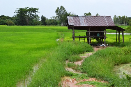 In a rice farm photo