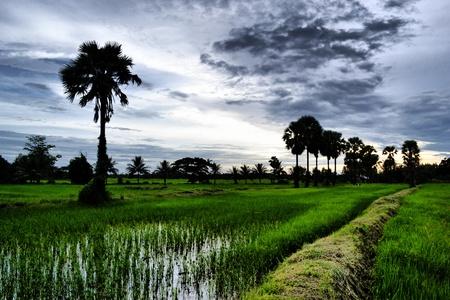 Rice Farm at Dawn photo