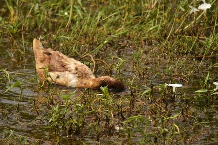 Duck swimming Stock Photo - 12721107