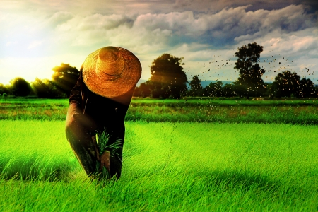 field of thai: Farmer on the Rice Farm