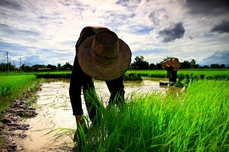 agriculturist: Farmer on the Rice Farm
