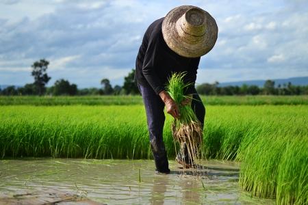 Farmer on the Rice Farm photo