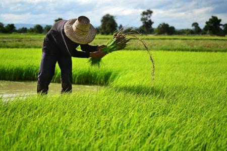 arroz chino: Granjero en la granja de arroz