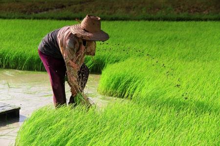 Farmer on the Rice Farm